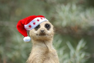 Christmas Party Animals - come and meet the Meerkats!