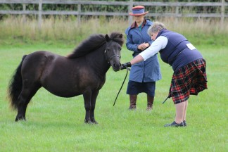 Mawcarse Shetland Ponies to visit Glendoick Garden Centre